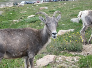 Young mountain sheep